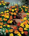 Marigold Seeds - French Safari Mix