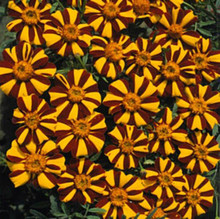 Marigold Seeds - French Mr Majestic