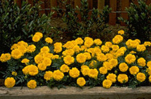 Marigold Seeds - French Janie Bright Yellow