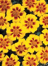 Marigold Seeds - French Disco Marietta