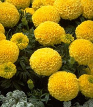 Marigold Seeds - French Crush Pineapple