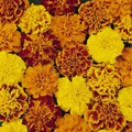 Marigold Seeds - French Bonanza Mix