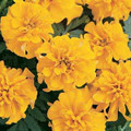 Marigold Seeds - French Bonanza Gold