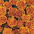 Marigold Seeds - French Bonanza Flame