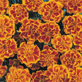 Marigold Seeds - French Bonanza Flame