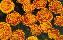 Marigold Seeds - French Bonanza Bee