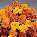 Marigold Seeds - French Aurora Mix