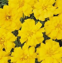 Marigold Seeds - French Aurora Light Yellow