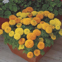 Marigold Seeds - African Perfection Mix