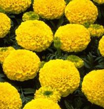 Marigold Seeds - African Marvel Yellow