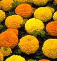 Marigold Seeds - African Marvel Mix