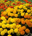Marigold Seeds - African Lady Mix