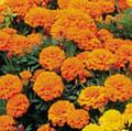 Marigold Lady Orange