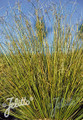 Ornamental Grass Seed - Carex Buchananii Green Twist