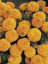 Marigold Seeds - African Inca II Orange