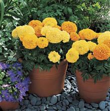 Marigold Seeds  African Inca II Mix