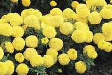 Marigold Seeds - African Inca II Primrose