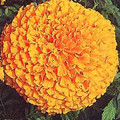 Marigold Seeds - African Crackerjack Orange