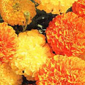 Marigold Seeds - African Crackerjack Mix