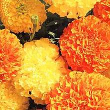 Marigold Seeds - African Crackerjack Mix