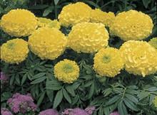 Marigold Seed -  African Antigua Primrose