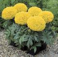 Marigold Seed -  African Antigua Yellow