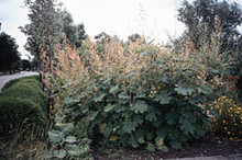 Macleaya Plume Poppy Or Bocconia Cordata