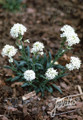 Lychnis Alpina Snow Flurry Perennial Seeds