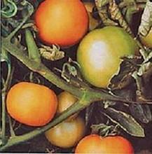 Longkeeper Gold Heirloom Tomato