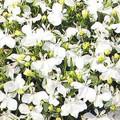 Lobelia Riviera Series White