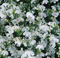 Lobelia Palace Series White