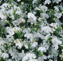 Lobelia Palace Series White