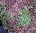Ornamental Grass Seed - Brachypodum Sylvaticum