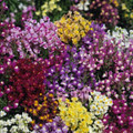 Linaria Toadflax Maroccana Fairy Bouquet