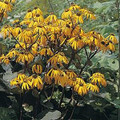 Ligularia Dentata Dark Beauty