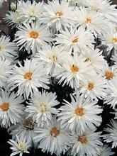 Leucanthemum Shasta Daisy Maximum Crazy Daisy
