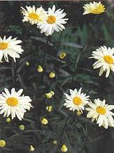 Leucanthemum Shasta Daisy Vulgare May Queen
