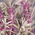 Herb Seeds - Lavender Lavender Lady