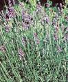Herb Seeds - Lavender Spica