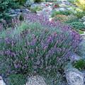 Lavandula Angustifolium Hidcote Superior
