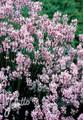 Herb Seeds - Lavandula Angustifolium Rosea Seeds