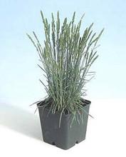 Ornamental Grass Seed - Koeleria Glauca Coolio