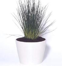 Ornamental Grass Seed - Juncus Inflexus Blue Arrows