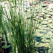 Ornamental Grass Seed - Juncus Effusus