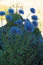 Jasione Perennis Laevis Blue Light