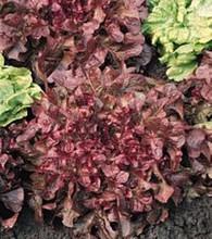 Lettuce Leaf Salad Bowl Red