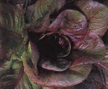Lettuce Red Romaine