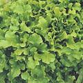 Lettuce Leaf Salad Bowl Green