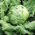 Lettuce Great Lakes 659