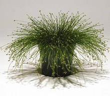 Ornamental Grass Seed - Isolepis Live Wire